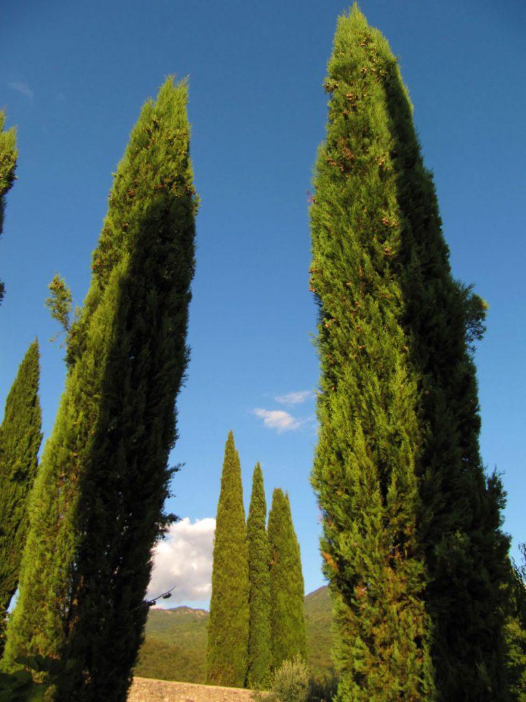 Zypressen - Toskana